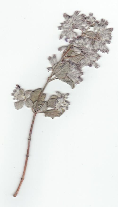 desert lavender_0001
