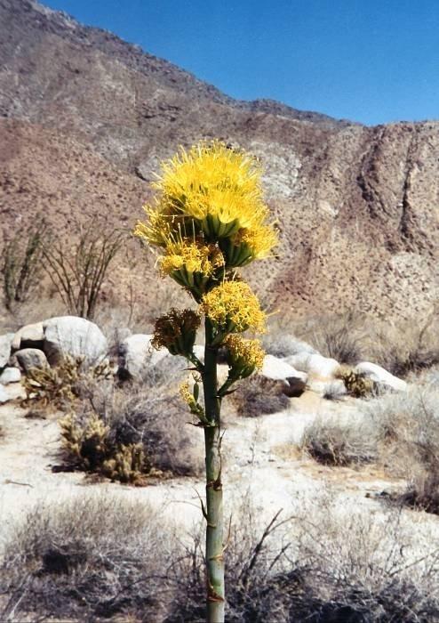 desert_flower_t600