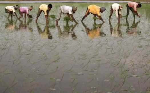 Labourers work in a paddy field at Gunowal village on the outskirts of Amritsar